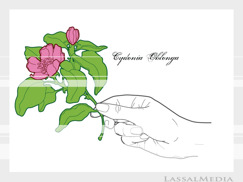 LassalMedia – Final vector illustrations for SolidGreen (hand holding plant samples of Cydonia Oblonga)