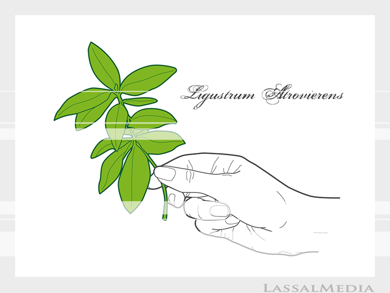 LassalMedia – Final vector illustrations for SolidGreen (hand holding plant sample of Ligustrum Atrovierens)