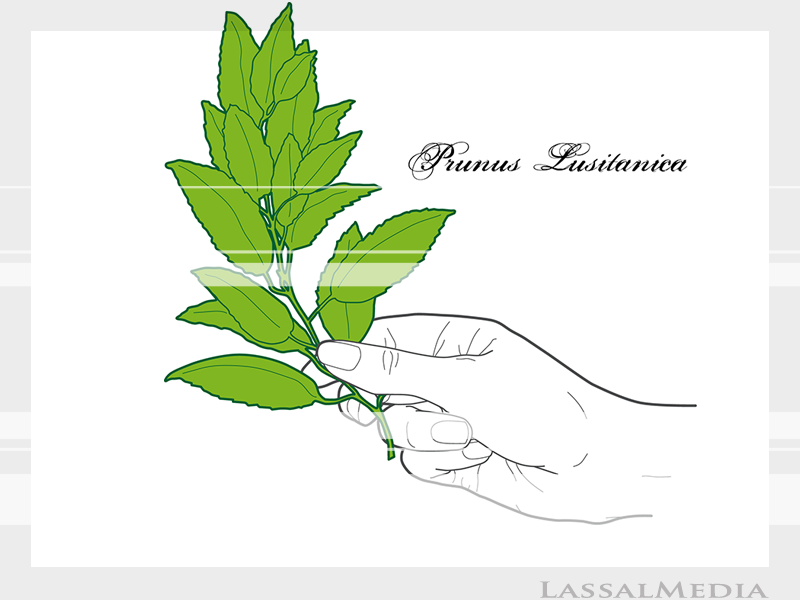 LassalMedia – Final vector illustrations for SolidGreen (hand holding plant samples of Prunus Lusitanica)