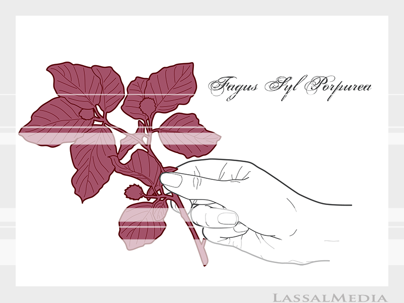 LassalMedia – Final vector illustrations for SolidGreen (hand holding plant samples of Fagus Syl Porpurea)