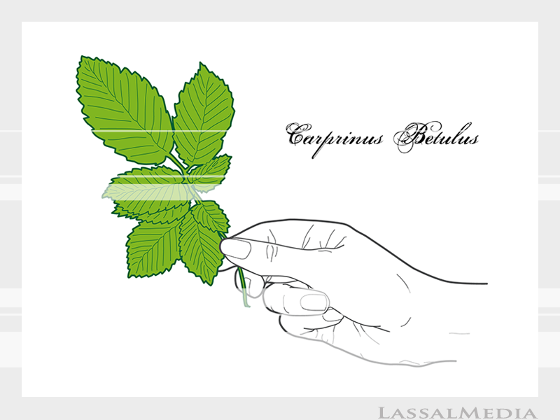 LassalMedia – Final vector illustrations for SolidGreen (hand holding plant samples of Carprinus Betulus)